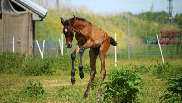 Foal jumping